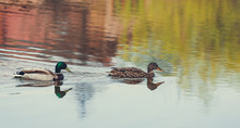 Wild Duck Swims In The Lake