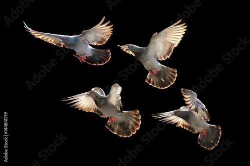 flying pigeon isolated on black background