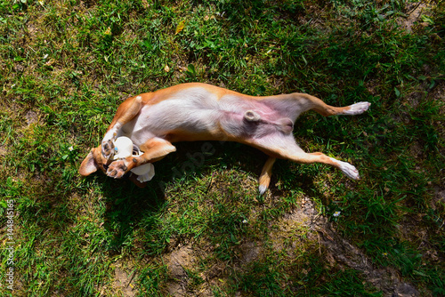 Fototapety, obrazy: A small and sweet light brown and white dog is belly-up on a lawn with a rubber duck in the mouth. The photo is from above. Sunny day