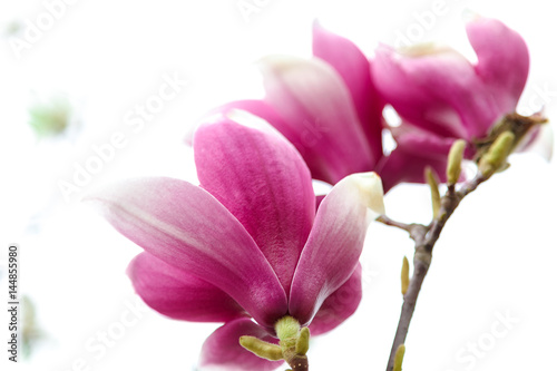 Pink flowers with green leaves of magnolia
