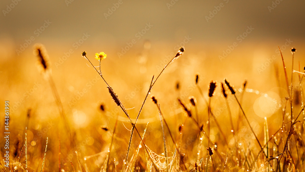 Fototapeta Small meadow flowers with water drops in morning sun rays.