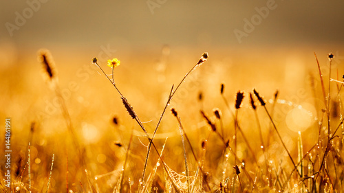 Fototapeta Small meadow flowers with water drops in morning sun rays. obraz