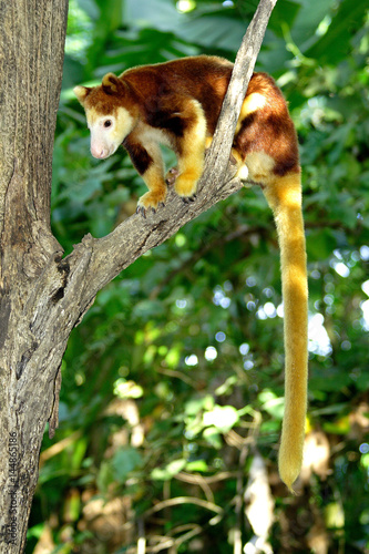 Tree kangaroo sitting on a tree branch, Papua New Guinea