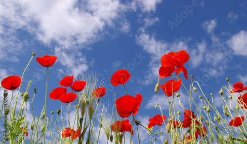 Fototapety, obrazy: Red poppies on field