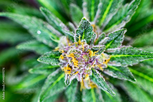 Fényképezés Macro photograph of an untrimmed medical marijuana flower showing trichomes and orange hairs and leaves