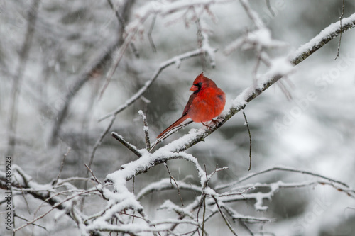 Photo  Bright red male cardinal on a snow covered branch