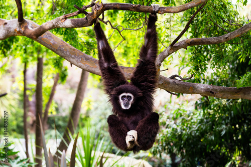 Cuadros en Lienzo Siamang Monkey Hanging from a Tree