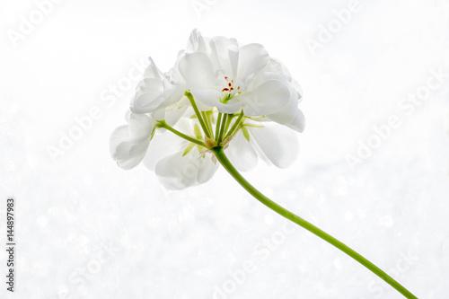 White Pelargonium (geranium) flower on a white background close-up