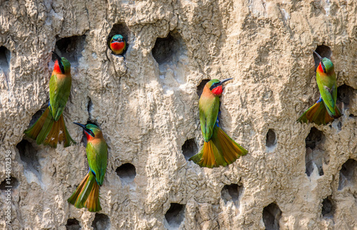 Photo Big colony of the Bee-eaters in their burrows on a clay wall