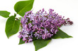 Flowers lilacs isolated on white background