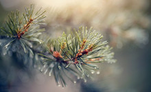 Wet Branches Of Pine Trees Aft...