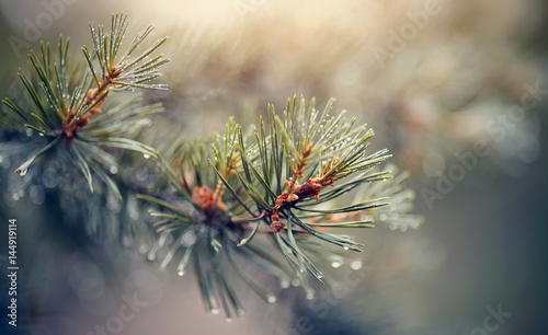 Obraz Wet branches of pine trees after a rain. - fototapety do salonu