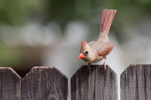 Female Cardinal Bird On A Fence About To Fly.