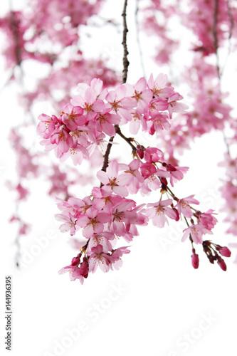 Foto op Plexiglas Magnolia 桜