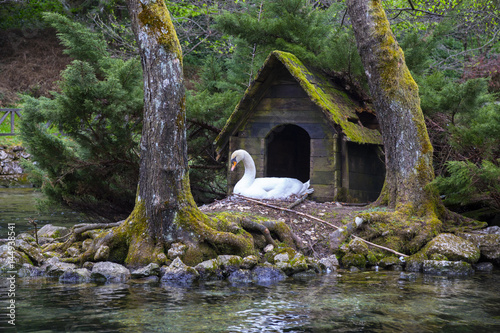 White swan in front of little house in the river
