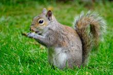 Grey Squirrel Feeding On Peanuts On A House Lawn.