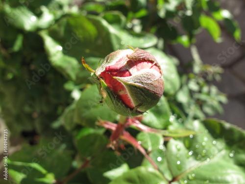 Foto op Canvas Azalea rosa in giardino