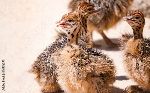 chicks African ostrich on the farm