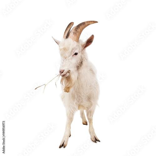 Canvas Print White goat isolated on white background.