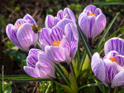 Purple and white crocuses family at spring sun