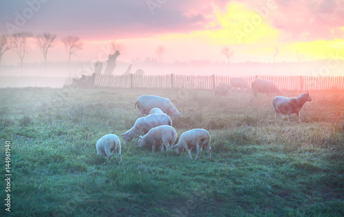 Tuinposter Lichtroze sheep and lambs graze on pasture at sunrise