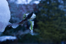 Snowy Magnolia Leaves