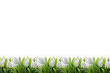 Fototapeta Tulipany - White tulips bottom border for background with space for your design image or text