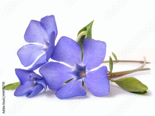 Photo bright violet wild periwinkle flower