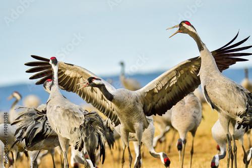 Eurasian crane Tablou Canvas