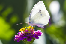 White Cabbage Butterfly On Pin...