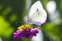 White Cabbage Butterfly On Pink Zinnia Flower Macro Photo. Pieris Brassicae Butterfly