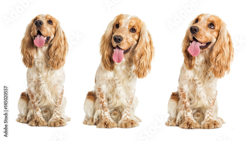 English cocker spaniel dog on a white background Wallpaper Mural