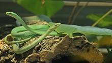 Paar Der Rauen Grasnatter (Opheodrys Aestivus) ,trächtiges Weibchen Kurz Vor Der Häutung