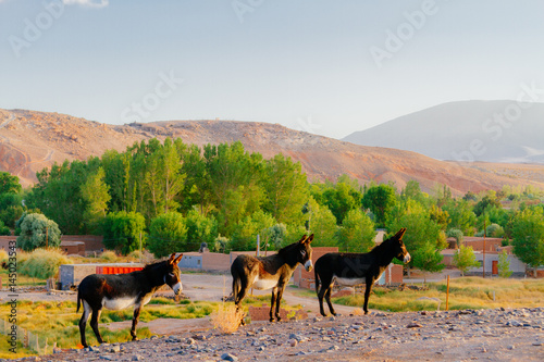 Three donkeys on a hill at sunrise in Catamarca, Argentina