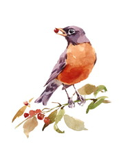 Watercolor Bird American Robin On The Branch With Berries Hand Painted Illustration Isolated On White Background
