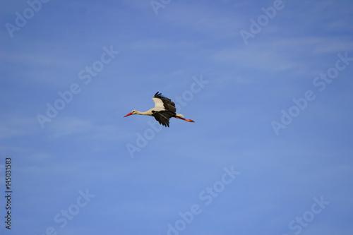 Keuken foto achterwand Toekan Stork flying on a blue sky in Alentejo Portugal