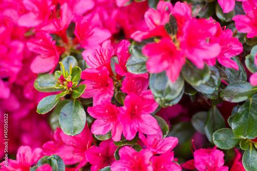 Photo sur Toile Azalea Azaleas crimson flowers in a garden