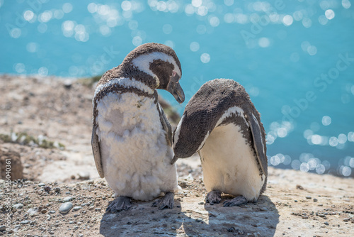 Fotografie, Obraz  Magellanic penguins at the nest, peninsula Valdes, Patagonia