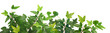 canvas print picture - Efeu Blätter / Pflanze (Hedera helix) - Panorama - Hintergrund isoliert freigestellt weiss / background isolated - Copy space text space