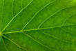 Fresh green leaf texture, leaf macro background