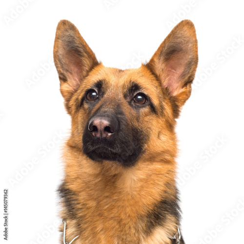 Fototapeta Beautiful adult german shepherd posing isolated on white background. Fluffy dog close-up of brown and black color obraz na płótnie