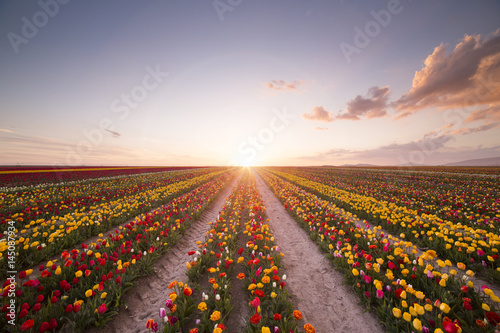 Plakat Piękny pole kolorowi tulipany przy zmierzchem
