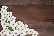Dogwood Blossom Background