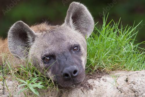 In de dag Hyena Closeup hyena head