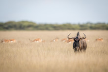 Blue Wildebeest Starring At Th...