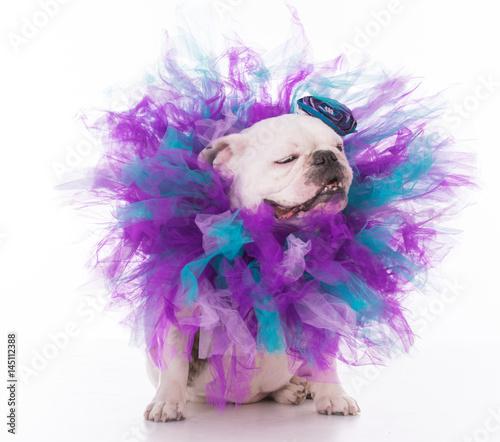 Fototapeta female bulldog wearing tutu