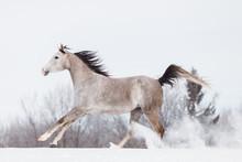 Arabian Horse Galloping In Snow