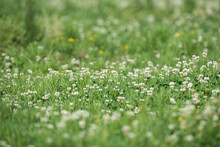 Background Field Of Clover With A Shallow Depth Of Field