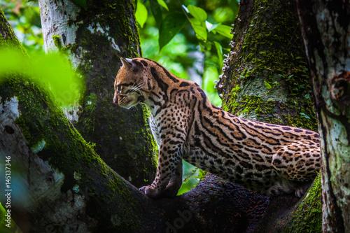 Oncilla. Wild cat on a tree. Wild cats. Ecuador. Wallpaper Mural
