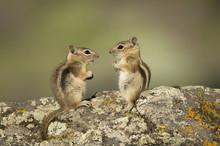 Chipmunks In Colorado Mountains